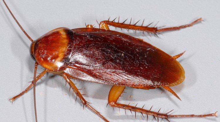 local cockroach treatment company Brisbane